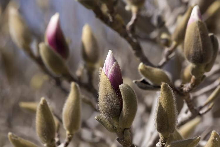 liliomfa gondozása