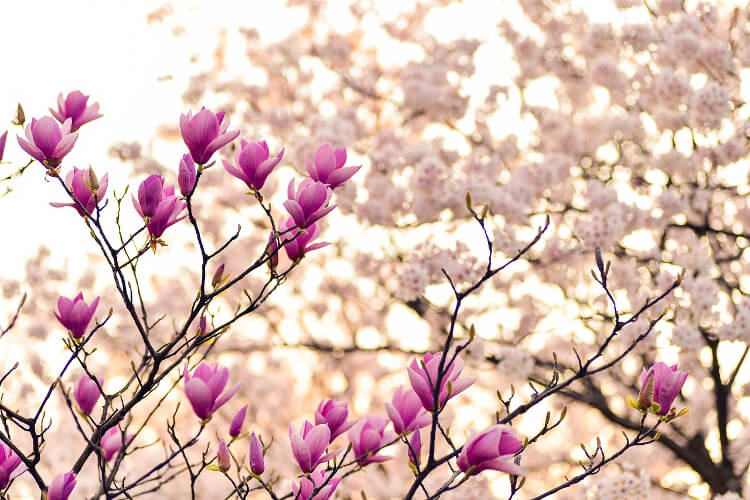 liliomfa virágzás