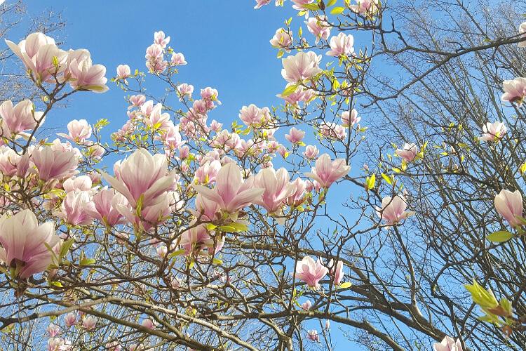 magnólia virágzás
