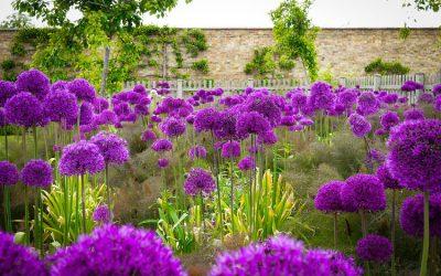 A 8 lila virágú növény, ami titokzatossá teszi a kertedet