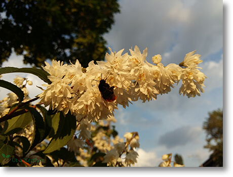 gyöngyvirágcserje