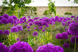 lila virágú növények